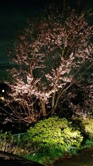 ドクターレザーおかざきの店舗裏側の夜桜